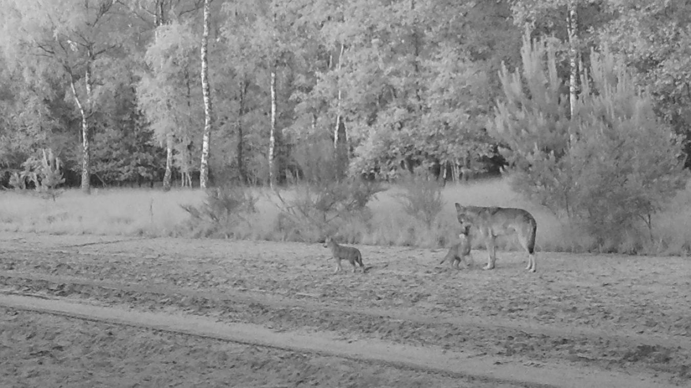 Tierischer Zuwachs: Wölfe Noëlla und August bekommen vier Welpen